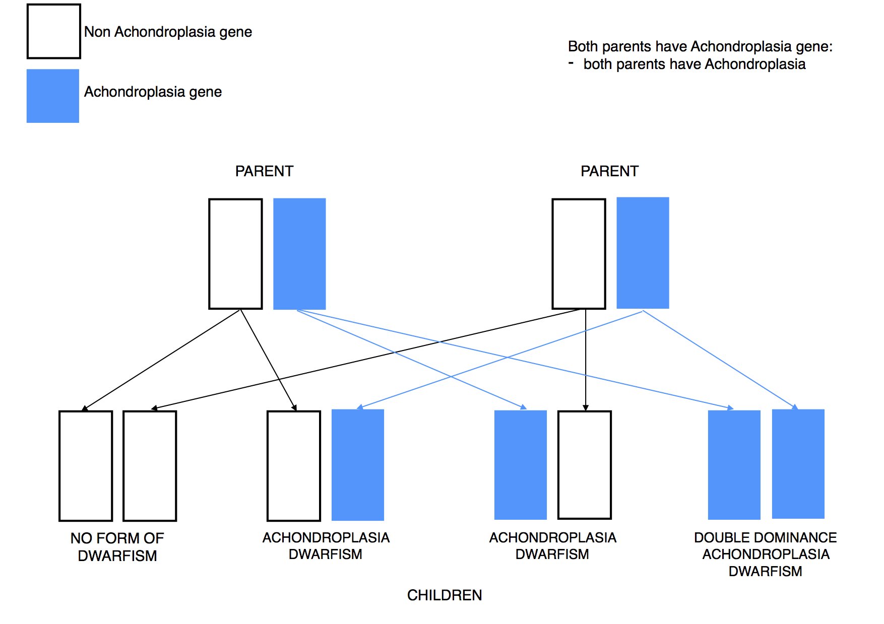 Dwarfism Genetics Achon 2 parents affected dominant